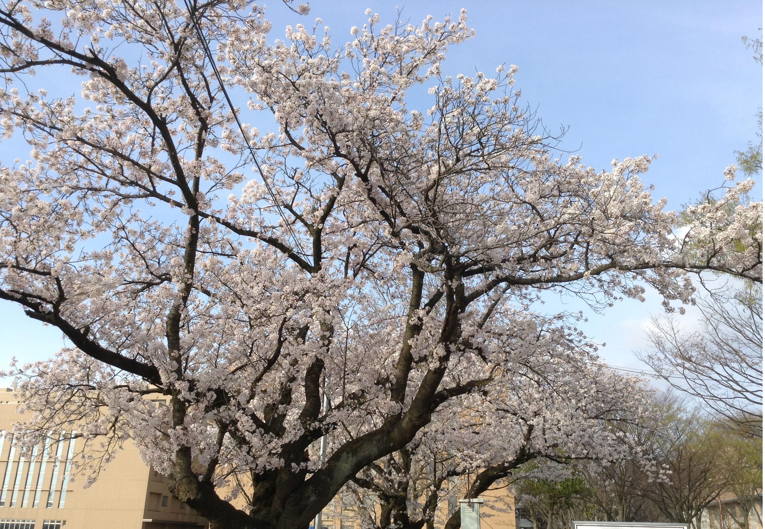 金沢大学2015桜